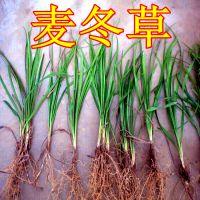 西安卖麦冬草基地 绿化专用地被草花 周至细叶麦冬50亩地直销