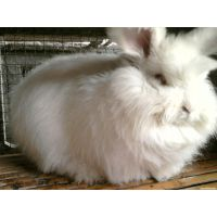 江苏巨高系长毛兔养殖加盟商 万发种兔养殖场 (金山种兔价格)
