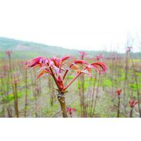 矮化大棚香椿苗品种 红油香椿苗价格 四川香椿苗多少钱