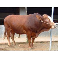 鲁西黄牛养殖场供应鲁西黄牛牛犊 杂交牛 黄牛苗