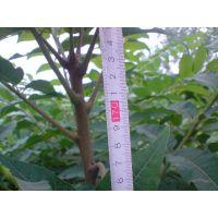 直销当年可食用红芽香椿树苗 红芽香椿树苗价格