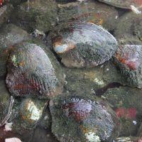 诸暨淡水珍珠河蚌鲜活蚌养殖珍珠大蚌三角帆蚌旅游现场加工