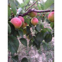 壹棵树珍珠油杏苗多少钱一颗 珍珠油杏树苗现在价格