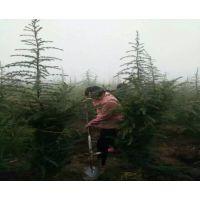 周至哑柏苗圃供应雪松苗木、绿化工程风景树大树、陕西雪松种植基地、