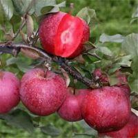 红色之爱苹果苗今报价 矮化红色之爱苹果苗多少钱一颗