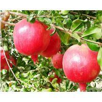 红如意石榴苗单价多少 红如意软籽石榴苗价格