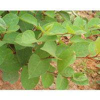 白藜蘆醇(虎杖提取物),久瑞生物
