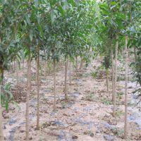 石榴苗怎么卖 泰山红石榴苗批发价格 大青皮石榴苗哪里有