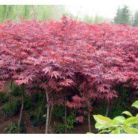 红枫小苗哪里便宜 江苏苗木基地报1-2-3-4-5公分红枫树苗价格
