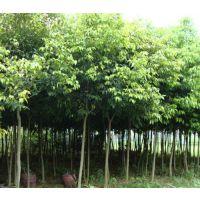 青峰园林(在线咨询)、泸州银杏、求购银杏树