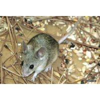 烟台市莱州莱阳专业灭蟑螂灭老鼠灭鼠服务公司