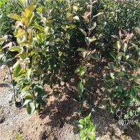 正一园艺苹果苗报价 苹果种苗种植基地