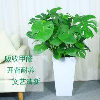 南昌花卉租赁,绿植租摆,巨人花卉绿植公司,绿萝15cm净化空气