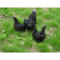 湖北土鸡苗生产厂家-优质各品种鸡苗绿壳蛋鸡种蛋,华绿生态农业