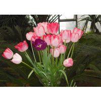 温室花卉种植-观花郁金香栽培技术-田间管理-人工调控