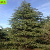 雪松 种植基地 落地冠树形优美 4米5米6米雪松树