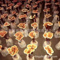 已出片赤芝 灵芝盆景 灵芝菌包 菌袋 灵芝菌种 菌苗 活体灵芝盆栽