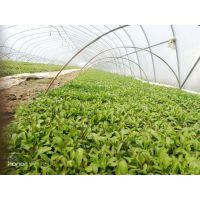 甜叶菊高产专用叶面肥昆仑风营养抗病肥