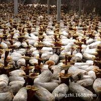 山东灵芝盆景批发 灵芝盆景菌种 活体灵芝盆栽种子 灵芝栽培种