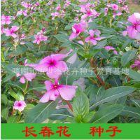 长春花种子F1代 盆栽长春花 进口长春花种籽 矮株 盆栽