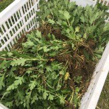 婺源黄菊苗一亩地种植多少株
