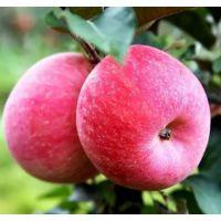 红色之爱苹果苗新报价 3公分红色之爱苹果苗价格