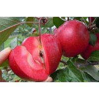 苹果苗多少钱 苹果种苗价格 山东苹果苗