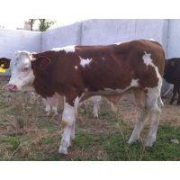 供应改良肉牛犊 小牛 肉牛苗 小牛苗 贵州牛犊活体价格包送