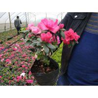 批发西洋鹃,元旦花卉盆花选择西洋鹃,成都基地批发比利时杜鹃,西洋鹃价格