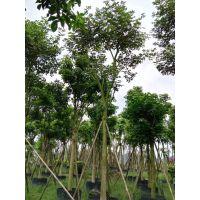 海南黄花风铃木绿化工程供应,三亚黄花风铃木多花少花均有