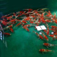 昭和三色 巨能水产渔场直销日本锦鲤御三家鱼活体批发零售