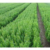 江苏黄杨小苗大量现货 高10-20-30-40公分黄杨小苗价格便宜卖