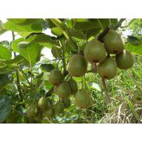 什么品种的嫁接猕猴桃树苗品种好些多少钱一棵
