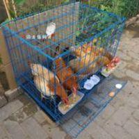 肉鸡笼【蛋鸡笼】养殖鸡用笼具 飞创丝网厂家批发13784187308