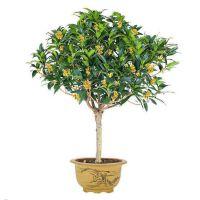 盆栽四季桂花 嫁接桂花树苗 金桂绿化苗 庭院阳台浓香型花卉植物