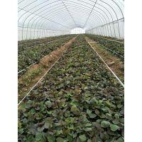 河南红薯苗基地 烟薯25红薯苗基地