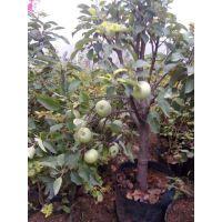 壹棵树农业 矮化苹果树 红肉苹果苗基地在哪 品质保障欢迎选购