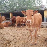 牛养殖场直销小黄牛价格 云南小黄牛养殖 西门塔尔种牛品种.