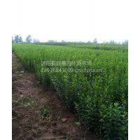 江苏金叶水蜡价格 种植方法介绍 苗圃直销绿化工程苗木