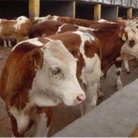 西门塔尔牛种牛犊价格