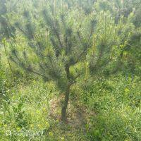 出售1.5米左右油松树苗 树形漂亮 山东油松种植基地规格齐全价格低廉