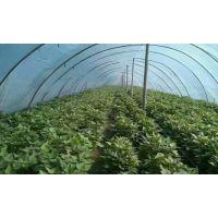 河南高淀粉商薯19红薯苗-地瓜苗-开封红薯苗培育基地