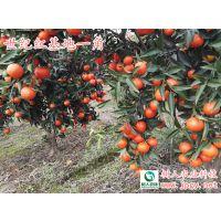 供应世纪红苗及各柑橘品种特早熟晚熟柑橘苗脐橙苗柚子苗