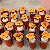 盆景灵芝种植加盟 泰山赤灵芝批发采购