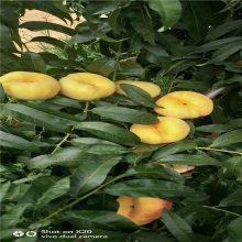 正一园艺场出售映霜红桃树苗 出售桃树苗货源地 农户直销桃树苗 农户直销映霜红桃树苗批发价格