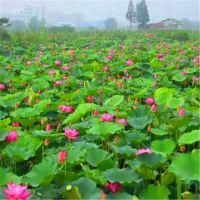 庭院池塘水池绿化观赏莲藕苗 荷花种苗 水生植物河道荷花净化水质