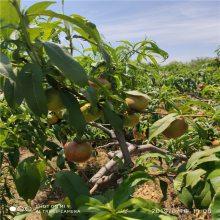 山东品种桃树苗基地好桃树苗价格
