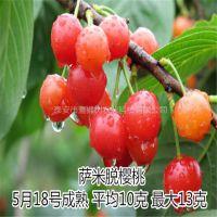 壹棵树农业黄蜜车厘子种苗新品种