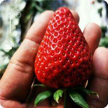 农户直销四季草莓苗 庭院阳台种植效果好 盆栽草莓苗