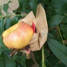 新疆桃树苗价格、桃树苗今年市场行情